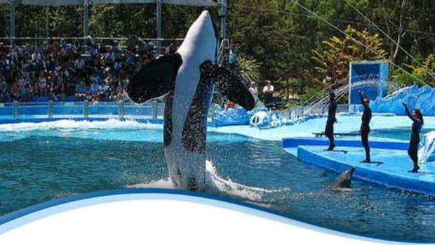 La única orca que hay en América Latina está en Mundo Marino. Se llama Kshamenk, un macho de 27 años