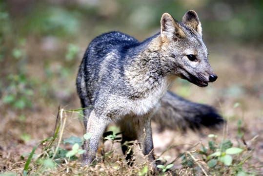 El zorro de monte también habita esta zona protegida. Foto: Parque Nacional Calilegua