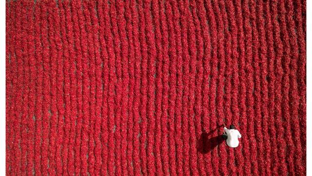 Cultivador de ají rojo, Guntur, India