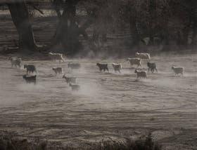 En la zona de Atreuco, en Junín de los Andes, el ganado ovino busca pasturas