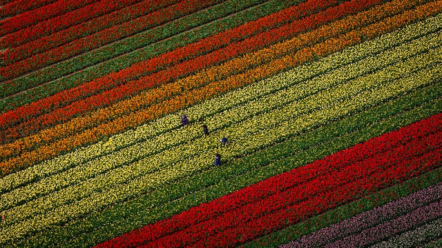 Trabajadores de los campos de tulipanes de Lisse