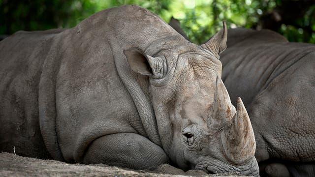 Uno de los dos rinocerontes que están en el sector africano. Foto: LA NACION / Fernando Gutierrez