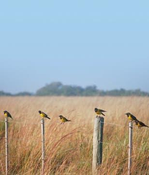 Tordo amarillo. Foto: Gza. Aves Argentinas/Aníbal Parera