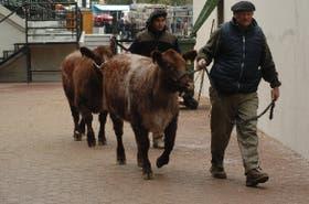 Ayer, en las horas previas, seguían las tareas para acomodar los ejemplares en el predio de Palermo