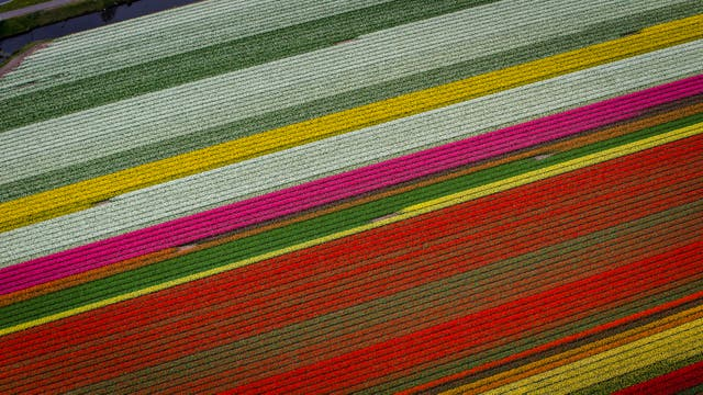 Vista aérea de los campos de tulipanes que rodean Keukenhof, en Lisse, a unos 20 kilómetros de Amsterdam,