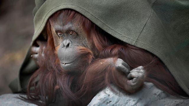 "La orangutana Sandra, reconocida judicialmente como ""persona no humana"". Foto: LA NACION / Fernando Gutierrez"