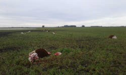 Los animales mutilados en el campo de Tezanos Pinto