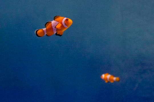 El pez payaso es la estrella del acuario. Foto: LA NACION / Matias Aimar