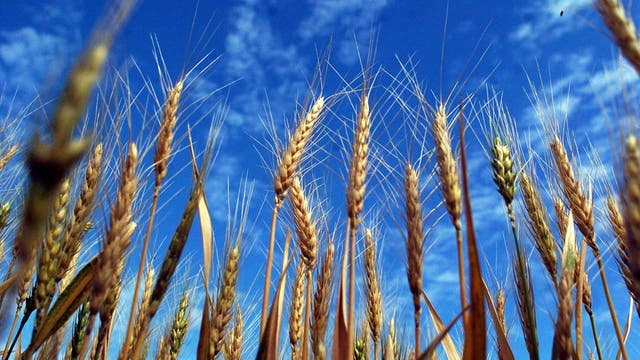 El valor del trigo de los Estados Unidos cayó ayer hasta uno de los niveles más bajos del año en las Bolsas de Chicago y de Kansas