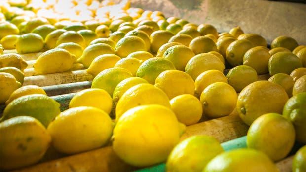 Buscan preservar la sanidad de limones y otros cítricos