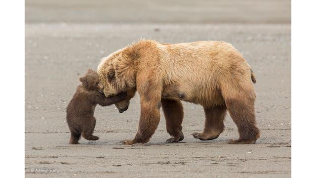 """""""Bear hug"""". Después de pescar almejas durante la marea baja, esta madre oso pardo estaba llevando a sus cachorros jóvenes a una pradera cercana. Pero un cachorro joven sólo quería quedarse y jugar"""