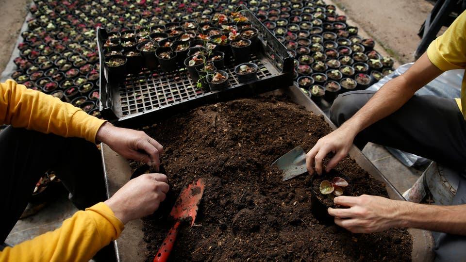 Se cultivan cientos de plantines de diferentes especies, que luego de un tiempo son trasladados a las plazas y parques de la ciudad. Foto: LA NACION / Silvana Colombo