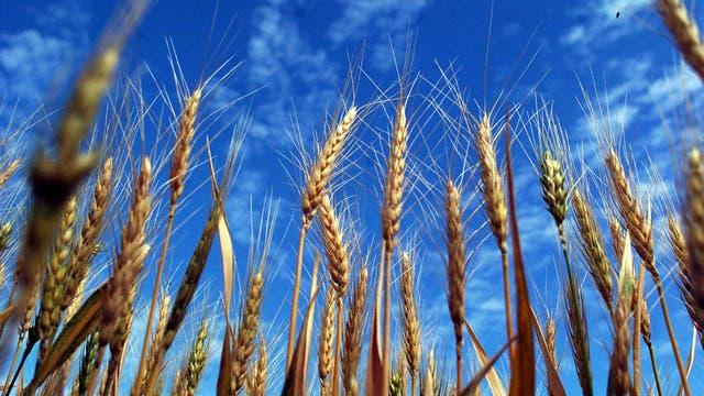 Cada reporte datado en Rusia que llega a manos de los operadores en Chicago y en Kansas es un nuevo golpe para los precios del trigo de los Estados Unidos