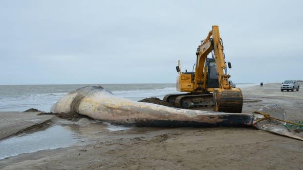 La ballena varada en San Clemente del Tuyú habría muerto hace una semana