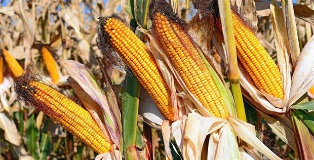 Sin amenazas climáticas, el maíz cayó 2,3% en la Bolsa de Chicago