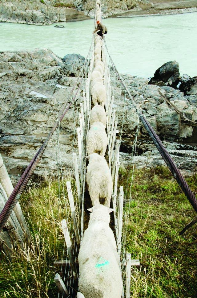 Ramiro Gregorio al frente de la manada de animales