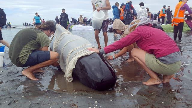 Cientos de ballenas mueren tras encallar en una playa neozelandesa
