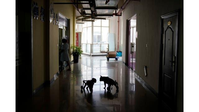 Los perros caminan con las sillas de ruedas antes de recibir tratamiento de acupuntura en Shanghai TCM