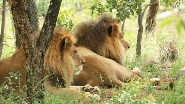 Los dos leones habían comenzado una nueva vida libre de abusos en mayo del año pasado