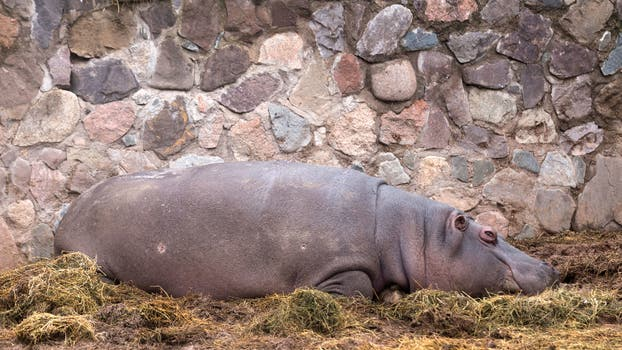 El hipopótamo que apareció herido. Foto: M. Aguilar López