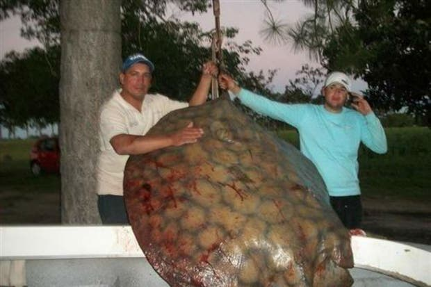 La raya de 115 kilos, pescada este fin de semana