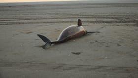 Uno de los delfines que aparecieron en las playas