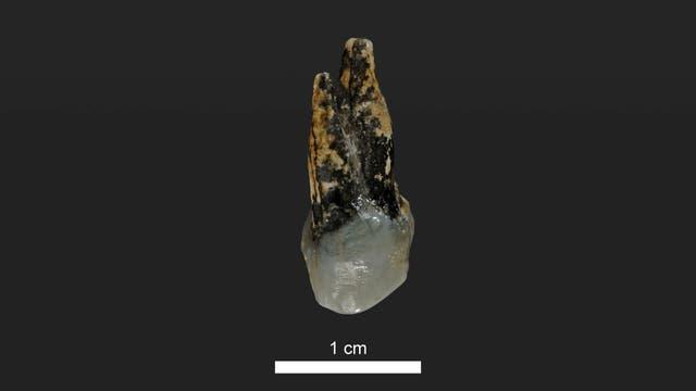 Este molar encontrado en Bulgaria estuvo en la boca de un homínido hace 7,24 millones de años