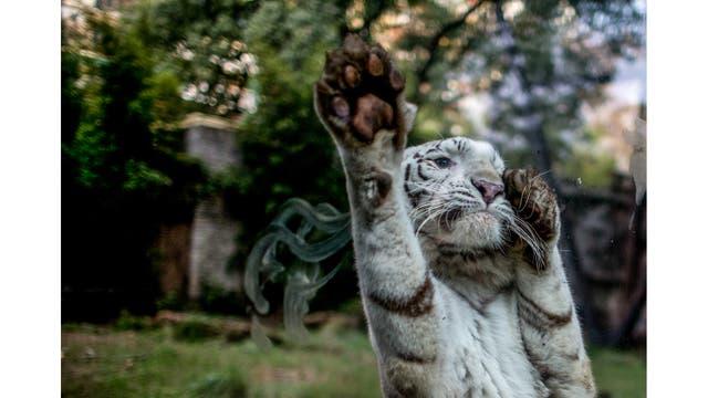 Cleo, una hembra de tigre blanca, salta contra el vidrio de contención reaccionando a un grupo de pintores que está trabajando en el proyecto
