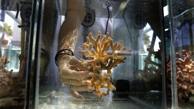 Jessica Bellsworthy, estudiantes que realiza investigaciones sobre los arrecifes de coral del Golfo de Eilat, mientras examinan corales en un acuario del Instituto Interuniversitario de Ciencias del Mar de Eilat Israel