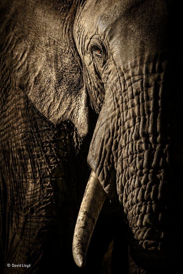 """""""The power of the matriarch"""". Al atardecer, en la Reserva Nacional Maasai Mara de Kenia, David esperó a la manada de elefantes en su caminata por la noche a un pozo de agua. A medida que se acercaban a su vehículo, podía ver que la suave luz del sol que se ponía rápido hacía hincapié en to"""