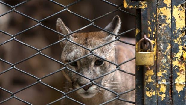Uno de los pumas del zoológico. Foto: M. Aguilar López