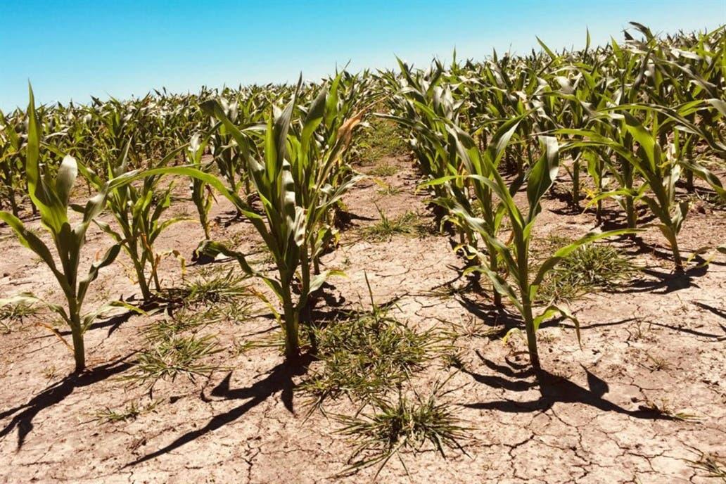 Un maíz afectado por la sequía en Entre Ríos