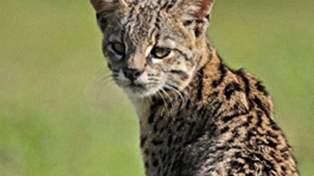 Gato montés: puede medir hasta 125 cm de la cabeza a la punta de la cola. Su peso puede ir desde los 4 kilos hasta los 18,3 kg. Se alimenta de liebres y conejos. También puede cazar insectos y roedores