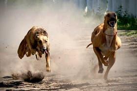 Las carreras de galgos, muy populares en pueblos del interior