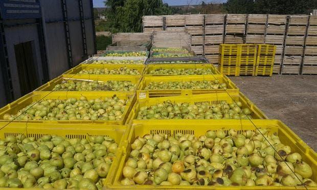 La producción de peras tiene altos costos de transporte.