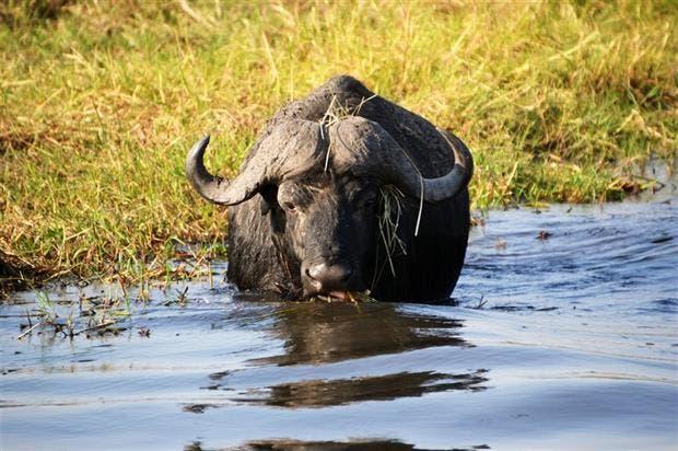 Hay potencial para la producción de búfalos