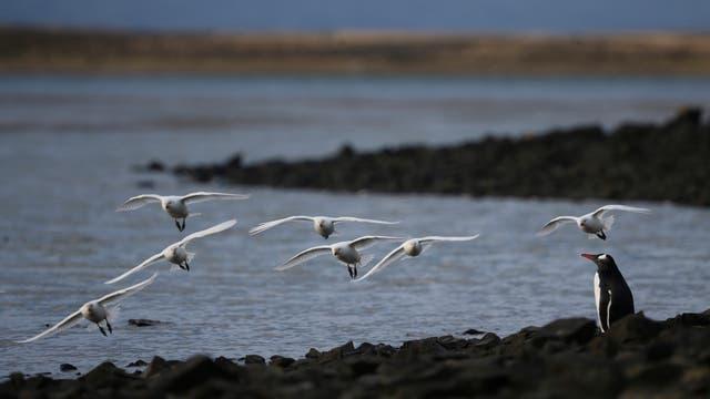 La fauna de Malvinas. Pradera del Ganso. Foto: LA NACION / Mauro V. Rizzi