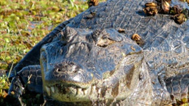 Yacaré: puede medir más de 2,5 metros de largo y su peso puede superar los 50 kilos. Es carnívoro y se considera el mayor predador de los ríos, esteros y lagunas. Se alimenta de peces, aves acuáticas y pequeños mamíferos