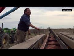 El inédito ritual de un productor para sembrar trigo