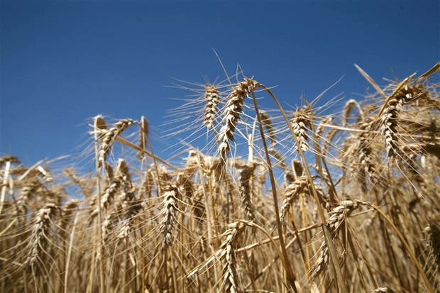 El zinc, clave para la producción del cereal