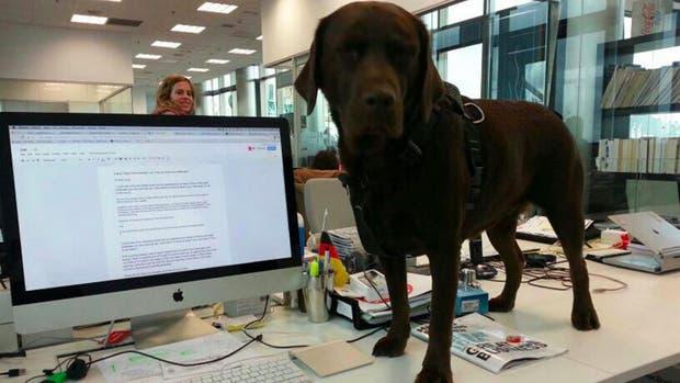 La labradora Tiikka en la oficina de Findasense