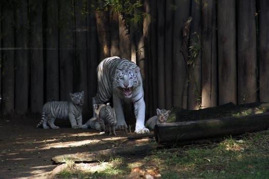 Los cachorros de tigre de bengala, fueron presentados hoy en el zoo, con su madre. Foto: LA NACION / Mauricio Giambartolomei