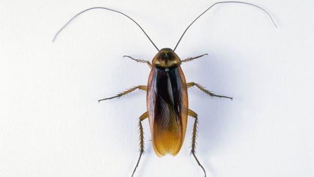 De las más de 4.000 especies de cucarachas que existen, unas 30 están presentes en hábitats humanos