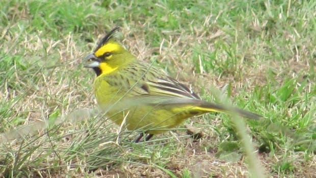 Un cardenal amarillo