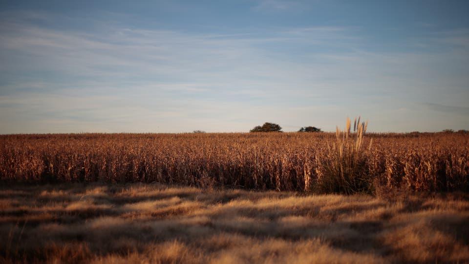 Siembra de maíz y vegetación típica de humedad en un campo cerca de Villa Mercedes. Foto: LA NACION / Diego Lima