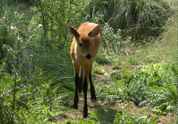 Valiente, el ciervo de los pantanos recuperado en Temaikén