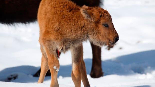 Por primera vez en 140 años, nació un bisonte en el parque nacional canadiense de Banff