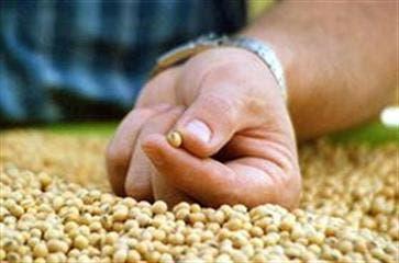 Las buenas perspectivas para la producción de soja en Sudamérica y la firmeza del dólar provocaron la caída de los precios en Chicago. Foto: Archivo