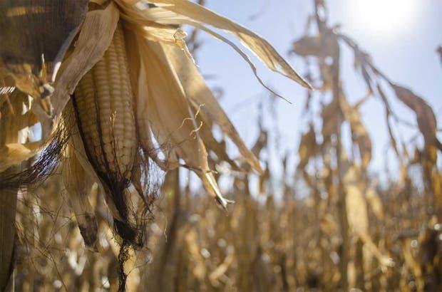 Con la producción del cultivo se recuperó una tradición