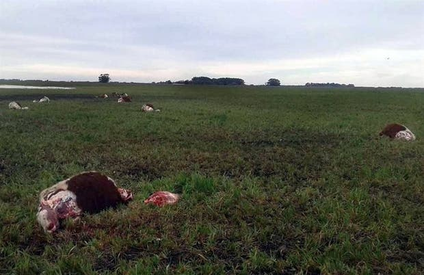 Los atacantes dejaron la mayoría de la carne en el lugar del hecho